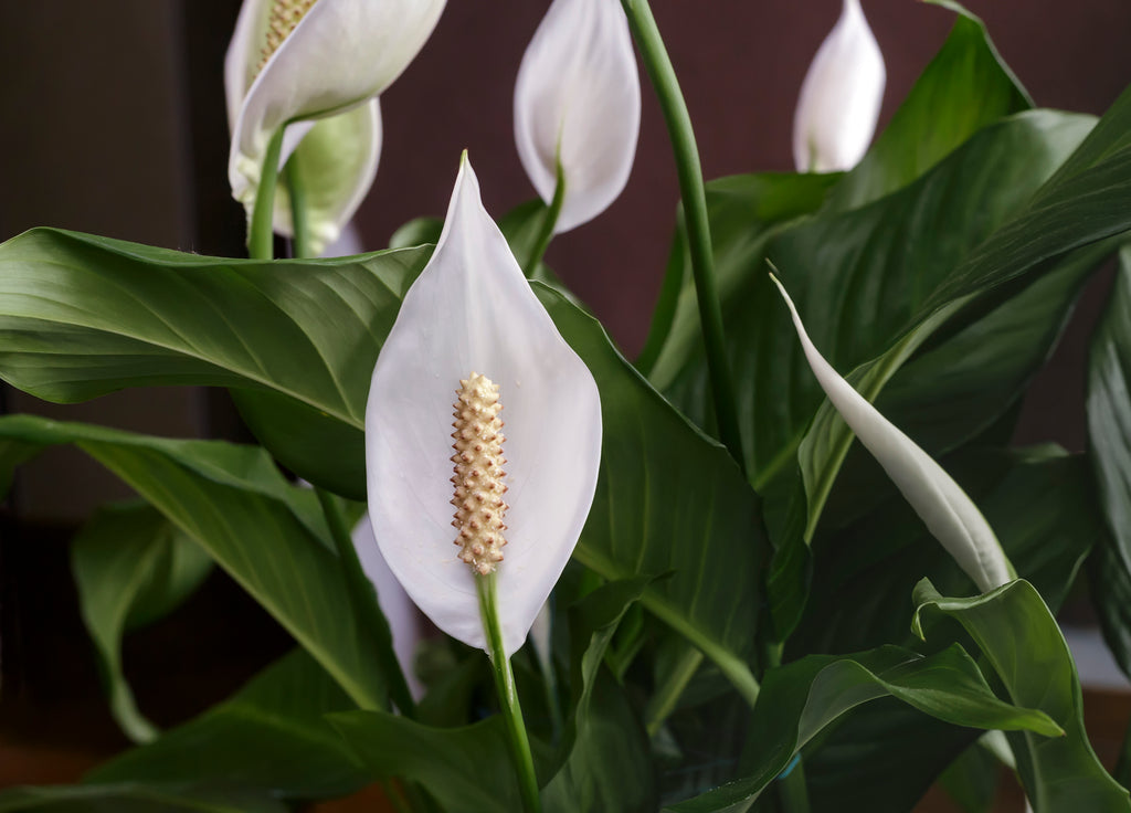NEW! Plant in Focus: Peace Lily (Spathiphyllum)