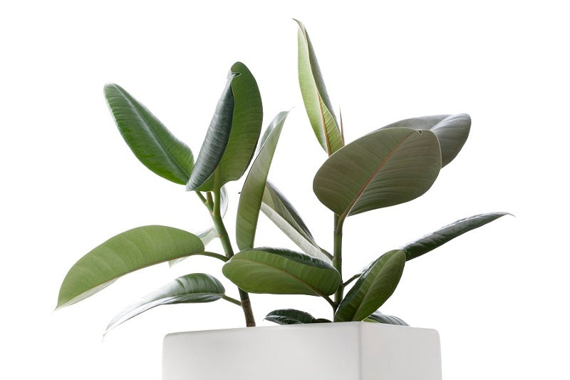 How to Maintain a Rubber Plant at Home