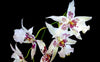 Odontoglossum Orchids, Long-lasting Spray Orchids