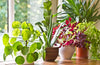 10 Beautiful  Indoor Plants for Better Air Quality