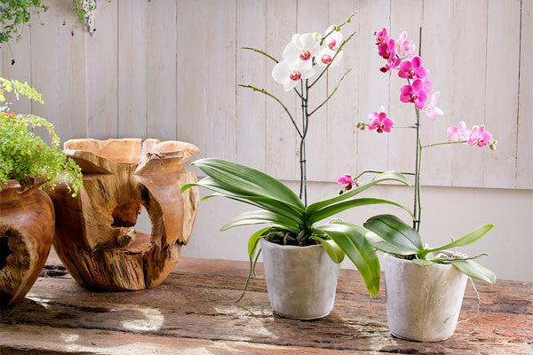 How To Fertilize Orchids Naturally