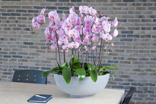 How To Make Your Orchids Bloom Again Orchidrepublic