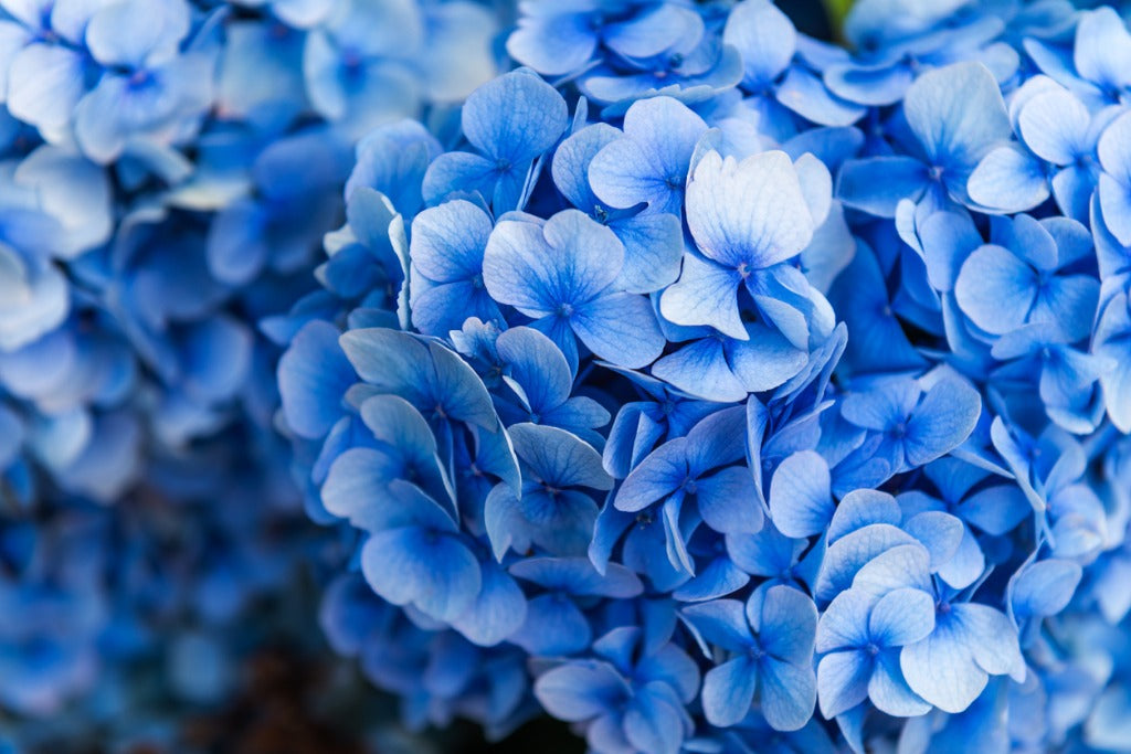 Blooms in Blue and Pantone's Color of the Year for 2020