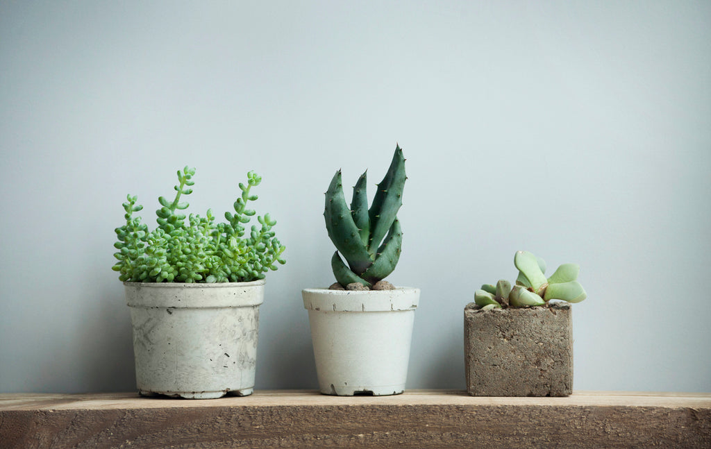 5 Types of Succulents That Will Thrive Inside Your Home