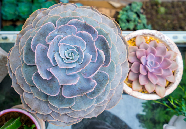 LOOK! Rose-Forming Succulents As Unique Alternative to Cut Flowers