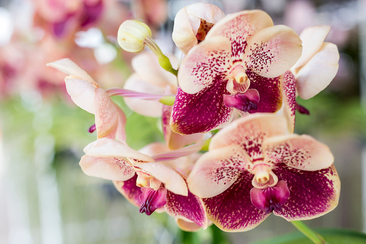 Are Orchids Edible Orchid Republic