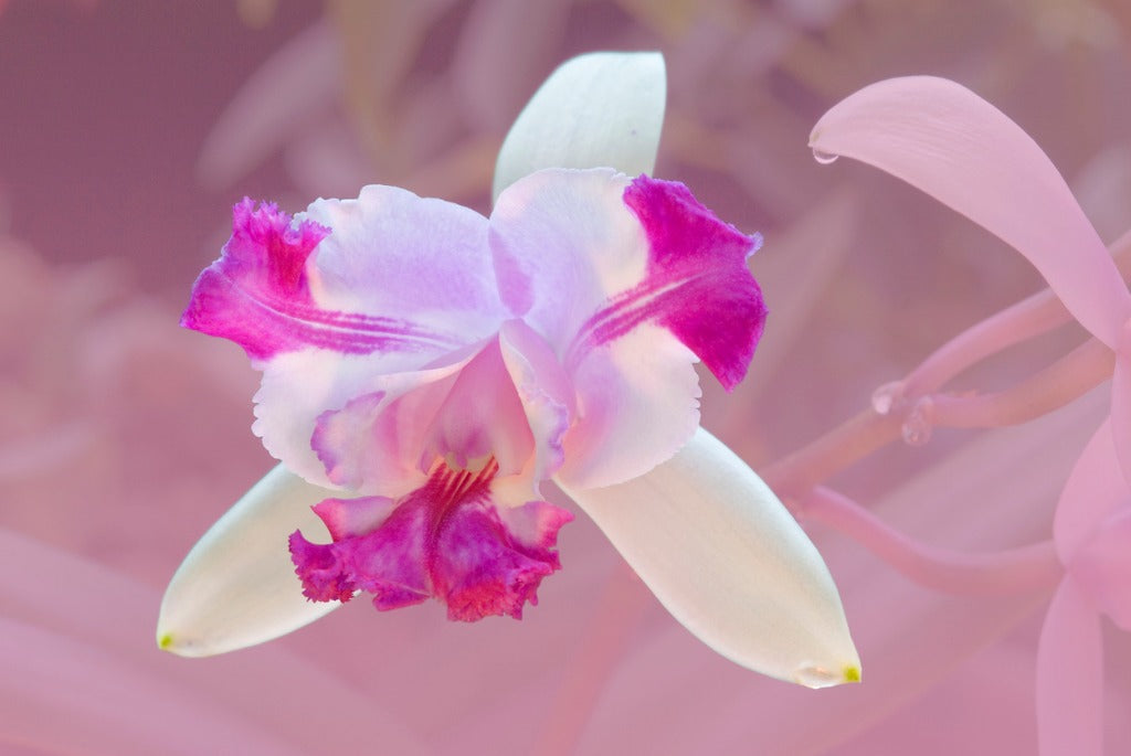 Laelia Orchids, The Mayflower Orchid