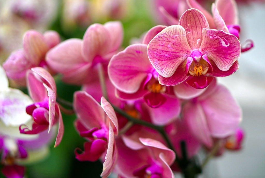 How to Make Your Orchids Last