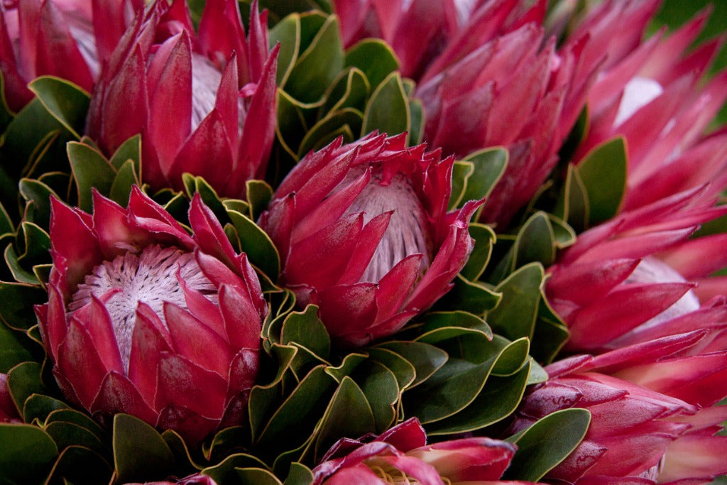 Flower Facts: Protea