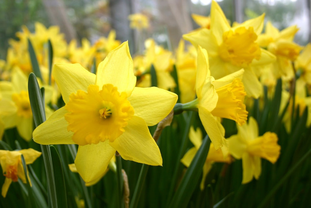 Flower Facts: Details on Dainty Daffodils Plus Spring Flower Arrangement Tips