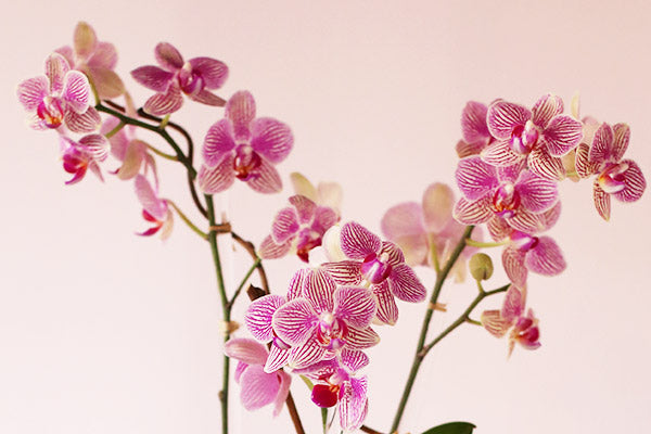 Orchid Plant Arrangements