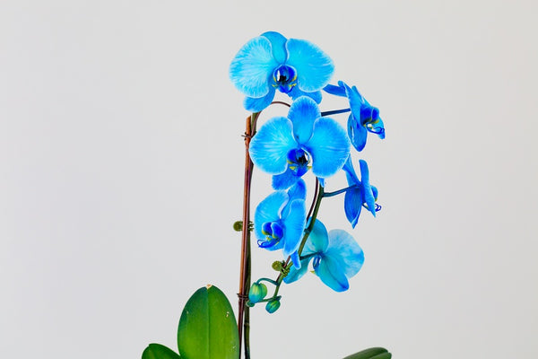 blue-orchids-phalaenopsis