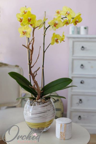 Orchid Care How To Maintain Your Phalaenopsis Orchids While In