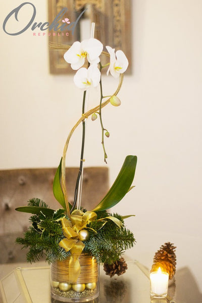 White-and-Gold-Holiday-christmas-orchids|https://orchidrepublic.com/collections/christmas/products/white-and-gold-holiday
