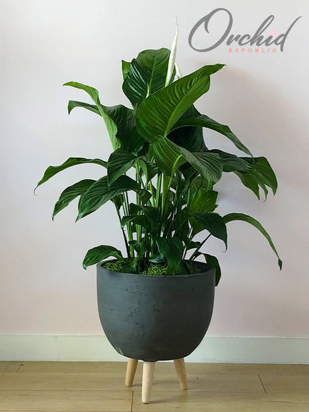 peace-lily-indoor-plant|https://orchidrepublic.com/collections/plants/products/peace-lily
