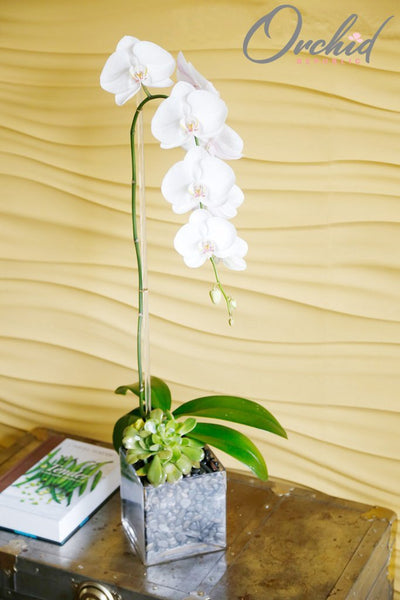 teardrop-orchid-plant|https://orchidrepublic.com/collections/orchid-plant-arrangements/products/tear-drop