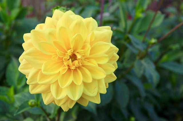30 types of yellow flowers and their meanings orchidrepublic in the victorian times dahlia flowers were used to represent a commitment shared forever by two persons such as marriage they also symbolize beauty mightylinksfo