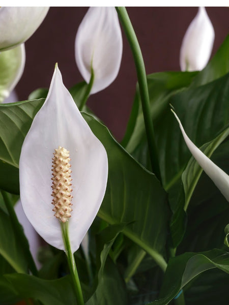 5 pretty indoor plants that bring positive energy orchidrepublic when it comes to must have indoor plants the peace lily should definitely be on your list botanically known as spathiphyllum this beautiful flowering mightylinksfo