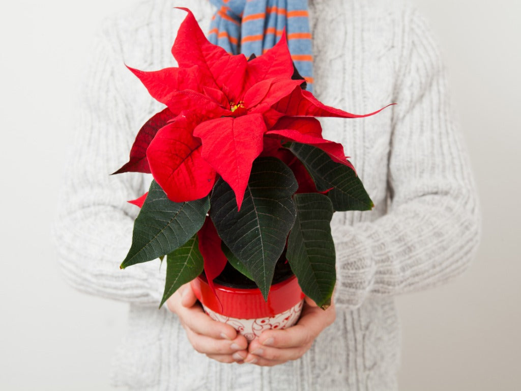 Christmas-poinsettia| https://orchidrepublic.com