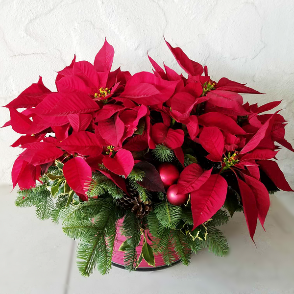 Poinsettia|https://orchidrepublic.com/collections/christmas/