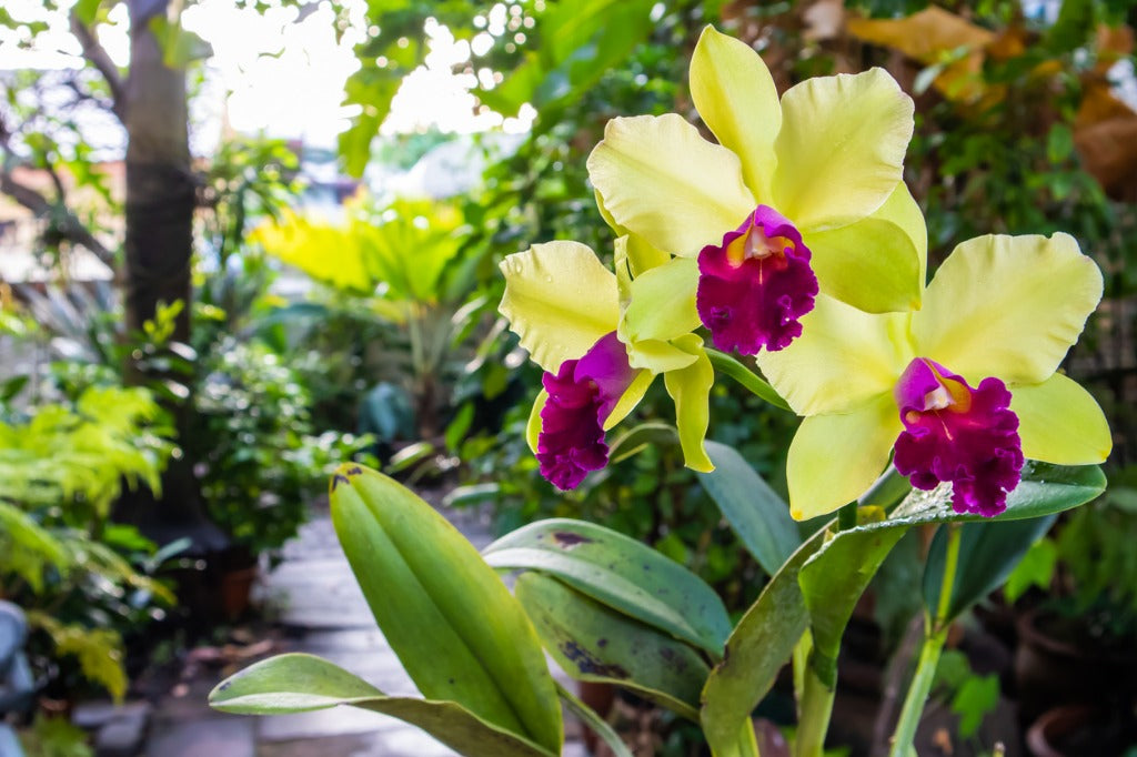 Orchid Care Is It Ok To Put Orchids Outside In The Summer