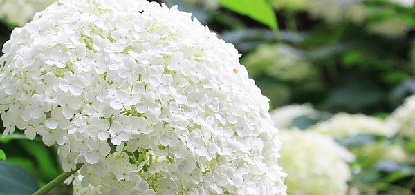 white smooth hydrangea