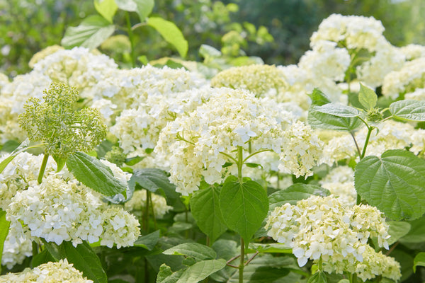 white panicle hydrangeas