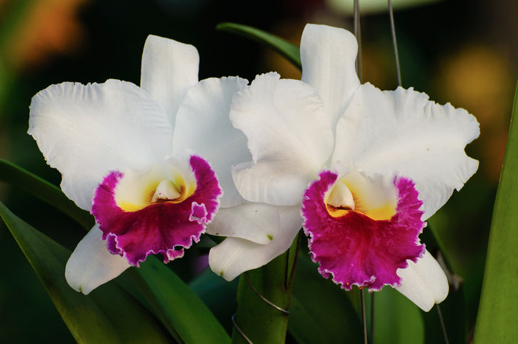 cattleya-orchids-facts
