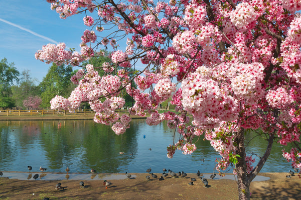 cherry-blossoms-los-angeles