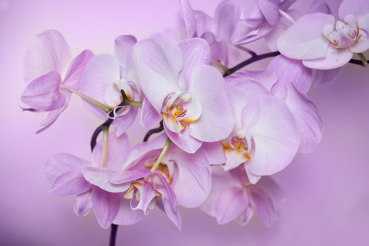 orchid-care-phalaenopsis-blooming