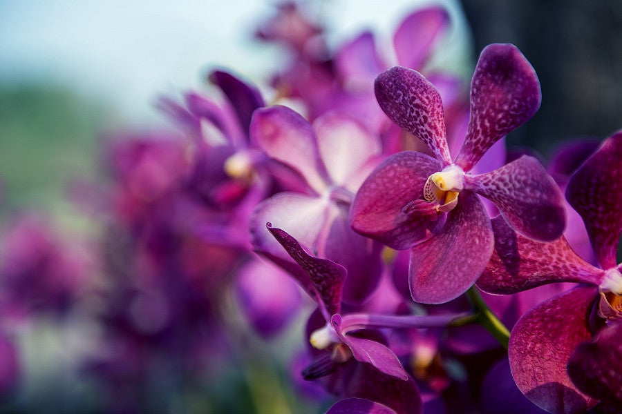 orchids-in-los-angeles