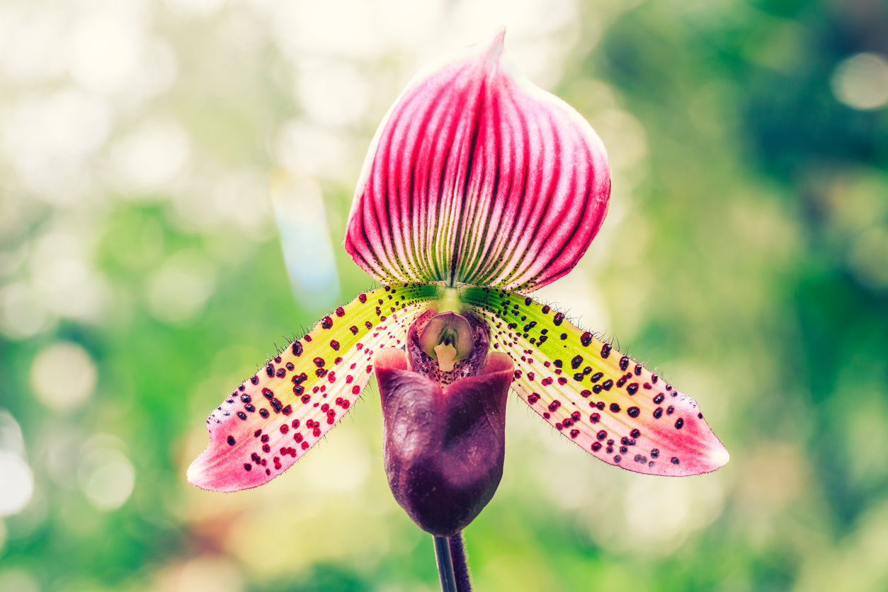 lady-slipper-orchid