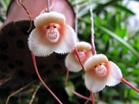 Monkey-Faced Orchids