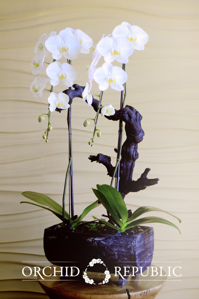 poise white orchids