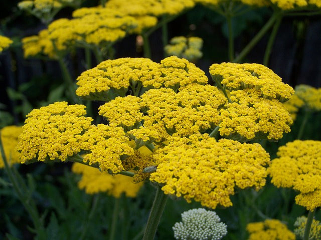 30 types of yellow flowers and their meanings orchidrepublic yarrow means good health love and healing yellow orchids mightylinksfo