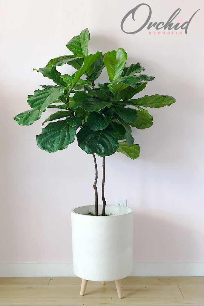 Fiddle Leaf Fig (Ficus)