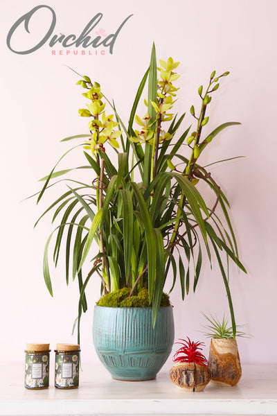 Isles of Gold Orchids