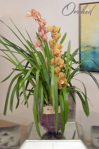 Golden Cymbidium