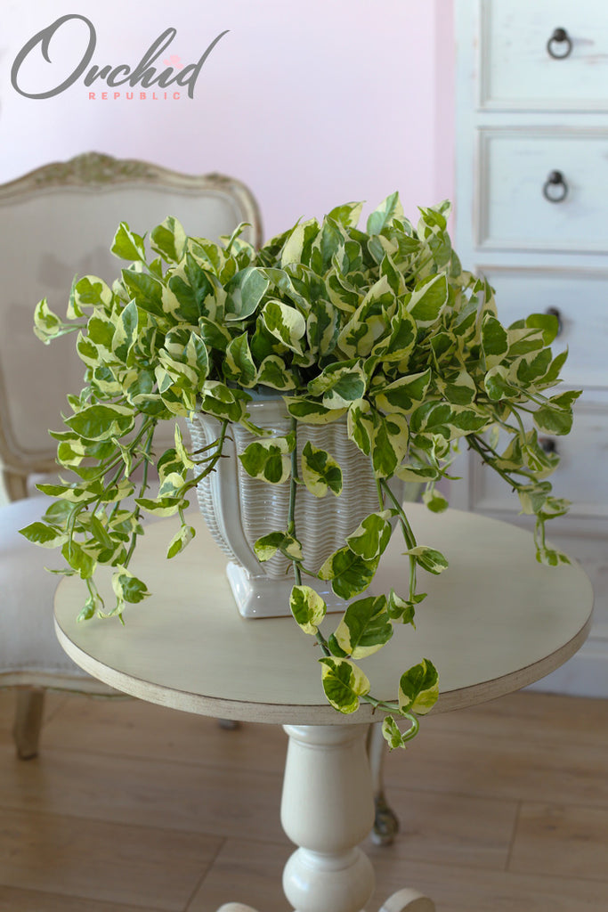 Golden Pothos White