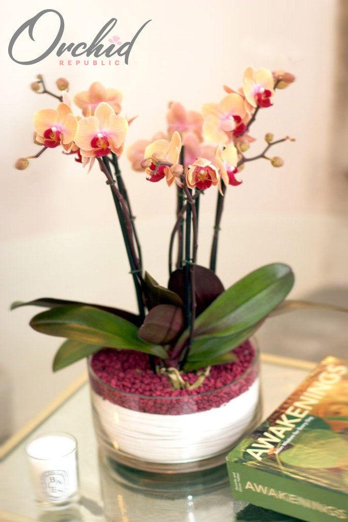 Peaches and Cream Orchids