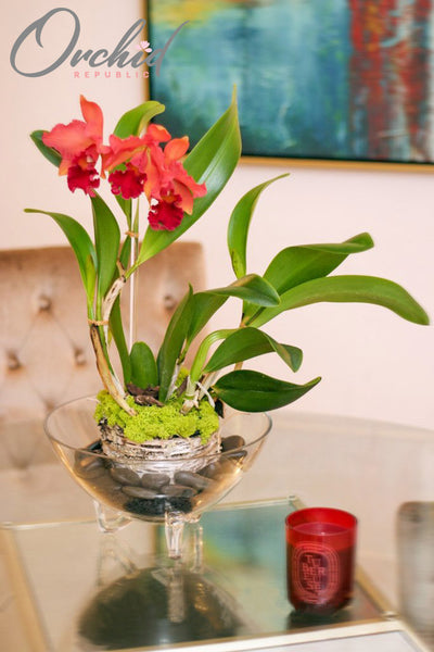 Regally Red Orchids