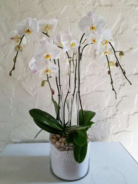 All About White Orchids