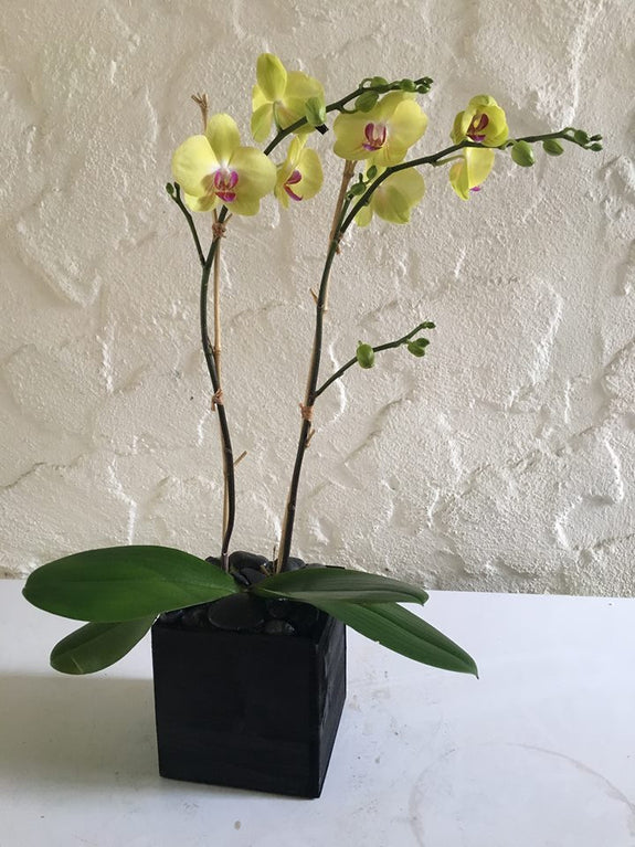 zz Yellow Samba Orchids