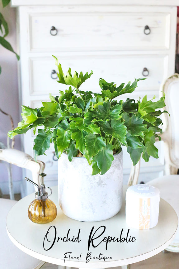 """Little Hope"" Philodendron"