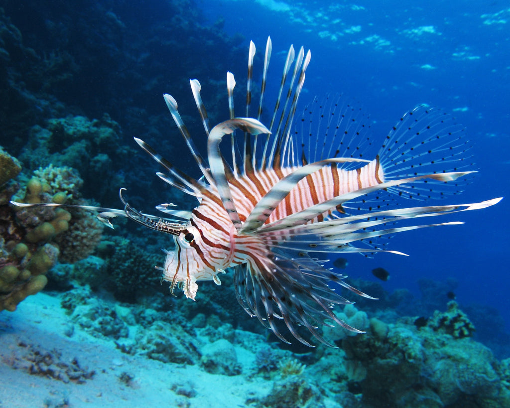 Beware the beautiful lionfish