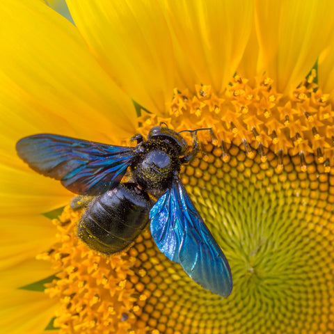 Carpenter_Bee_Hi_Res_square_large