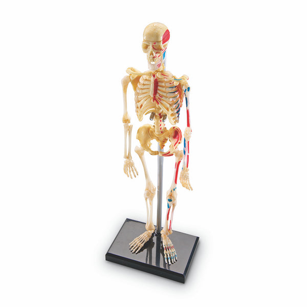 The Human Body-Educational-Model Skeleton