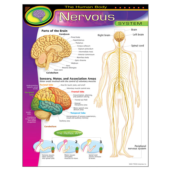 Bulletin Board Chart-Educational-The Human Body-Nervous System