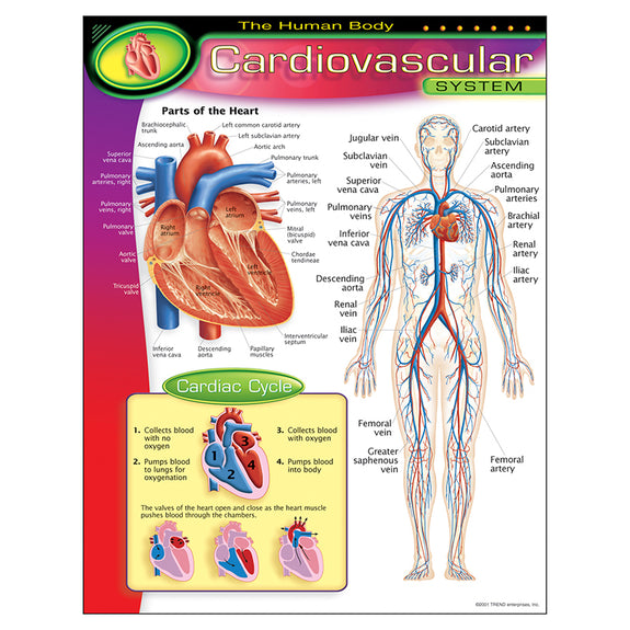Educational-The Human Body-Bulletin Board Chart-Cardiovascular System