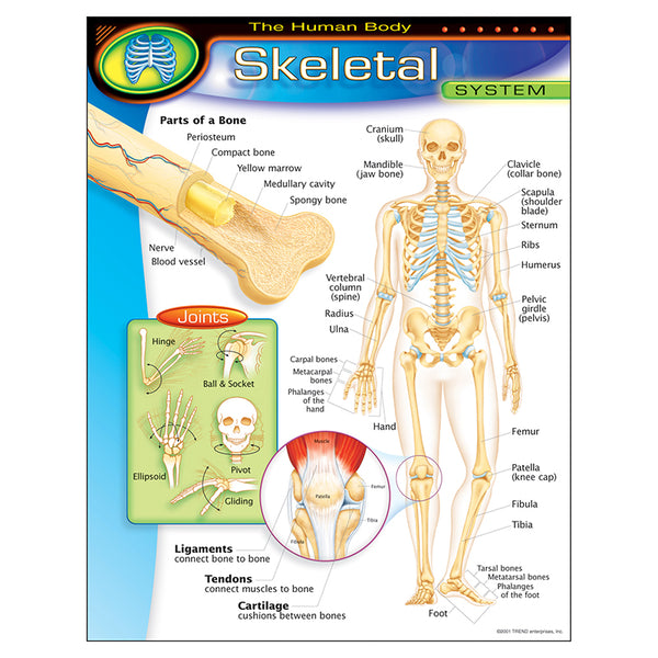 Bulletin Board Chart-Educational-The Human Body-Skeletal System
